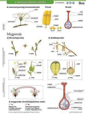 A virágos növény részei + munkaoldal tanulói munkalap- Componentele plantelor cu flori fișă de studiu și de lucru