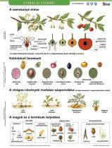 A virág és a termés + munkaoldal tanulói munkalap- Florile și rodirea fișă de studiu și de lucru