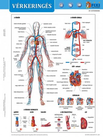 Vérkeringés tanulói munkalap + munkaoldal- Circulația sângelui  fișă de studiu și de lucru