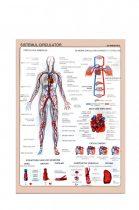 Sistemul Circulator - planșă de perete